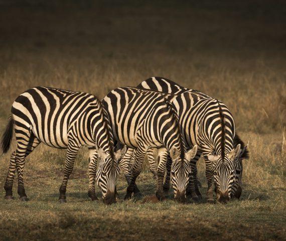 michele_buhofer_photoart_zebras