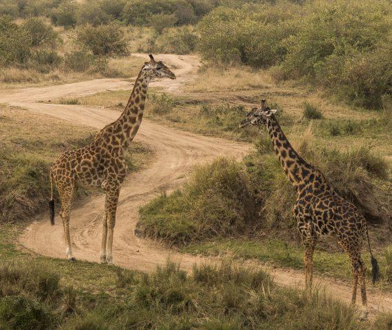 michele_buhofer_photoart_giraffes