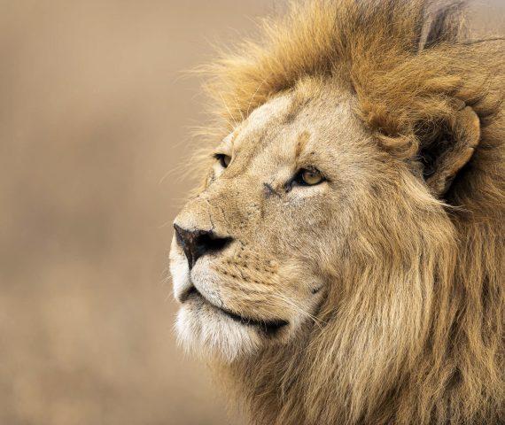michele_buhofer_photoart_lionking