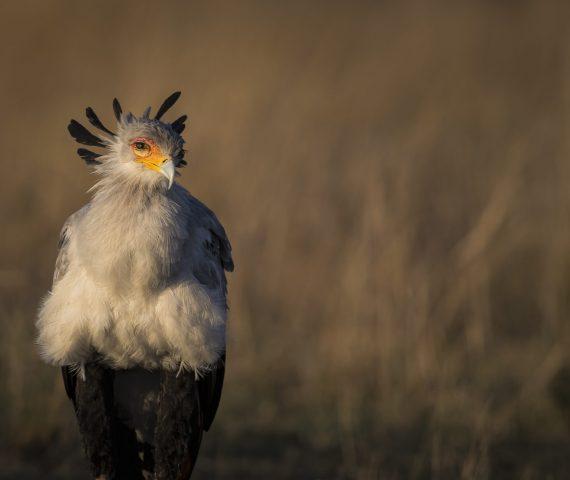 michele_buhofer_photoart_secretary_bird